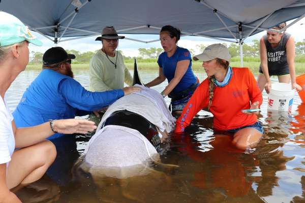 UF MAR staff and volunteers administer first aid to a live pilot whale in 2017