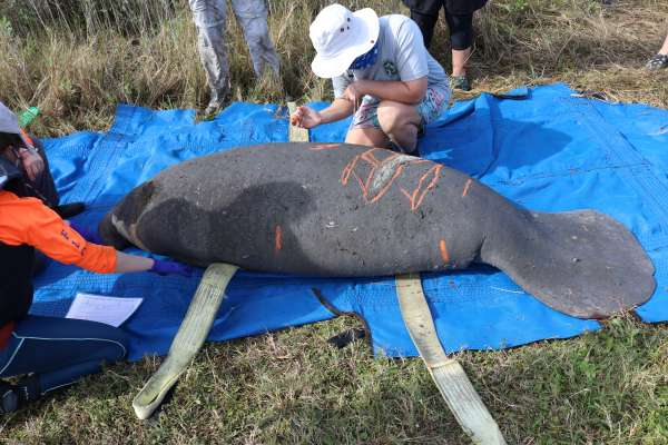 FWC biologists highlighting scars on an entrapped and rescued manatee