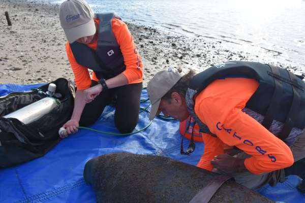 Veterinarians doing a health assessment and administering oxygen on a manatee
