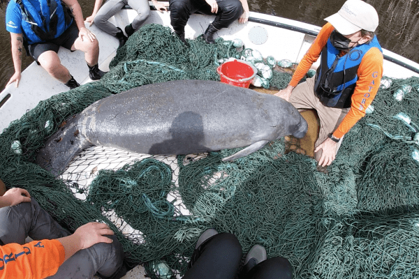 Dr. Walsh assessing a rescued manatee in Welaka, FL